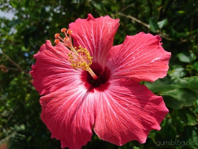 沖縄の自然・ハイビスカス画像