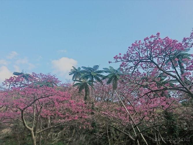 沖縄の寒緋桜画像