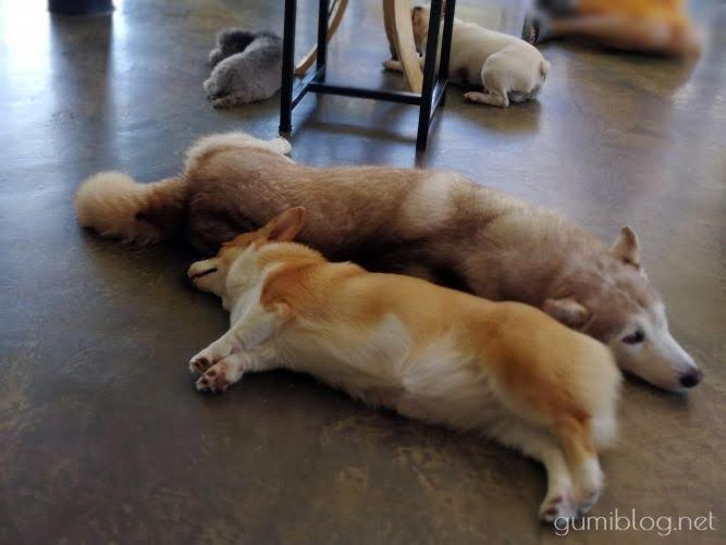 ドリンク付き150฿で楽しめる犬カフェ【Hong Hong Dog Cafe】タイ・パタヤのお昼寝画像