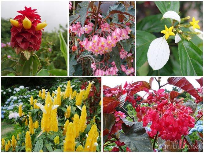 沖縄本島の梅雨の人気スポット!南国のお花も楽しめる【よへなあじさい園】本部の花画像