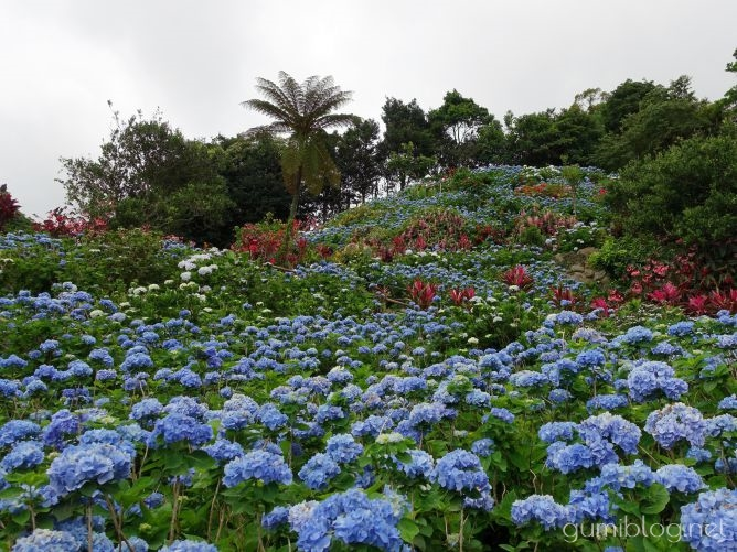 沖縄本島の梅雨の人気スポット!南国のお花も楽しめる【よへなあじさい園】本部の紫陽花画像