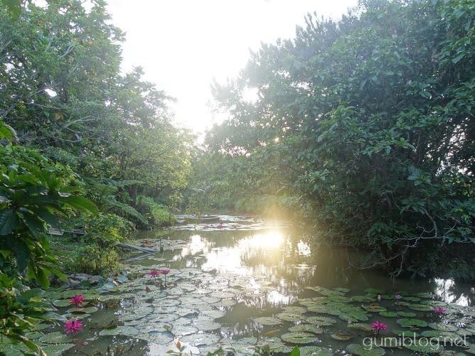 田福農園のサガリバナの池