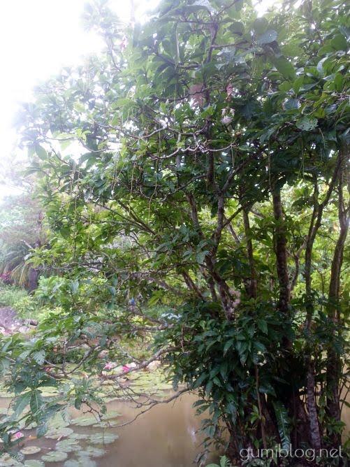 田福農園(たふくのうえん)のサガリバナ