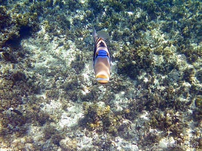 コマカ島のムラサメモンガラ