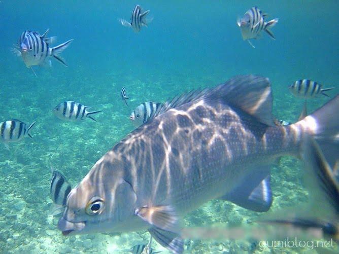 コマカ島にいる魚の種類!ロクセンスズメダイ・タマンなど