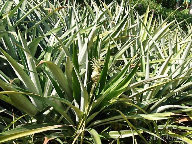 パイナップル号でパイナップル畑など園内を散策ナゴパイナップルパーク(北部・名護市)