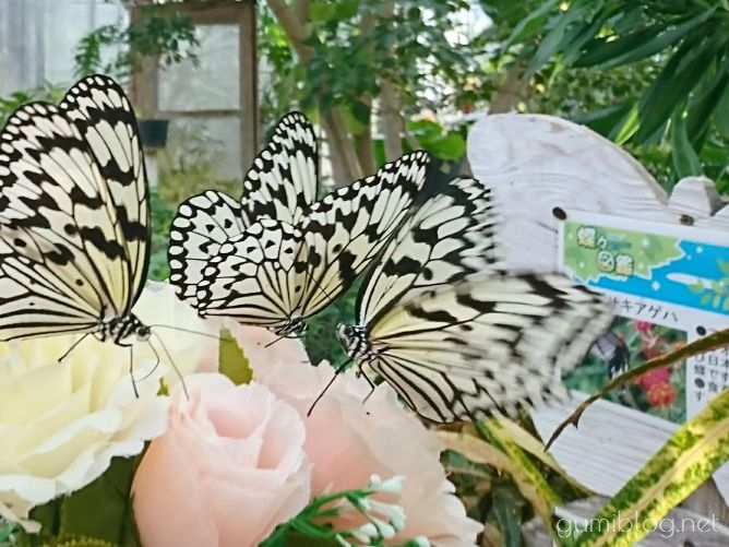 日本最大級の蝶「オオゴマダラ」と触れ合える琉宮蝶々園(北部・本部町)