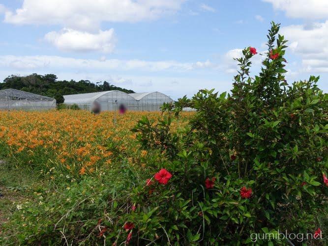 まとめ:沖縄県今帰仁村のクワンソウはお花観賞だけでなく食べても楽しめる
