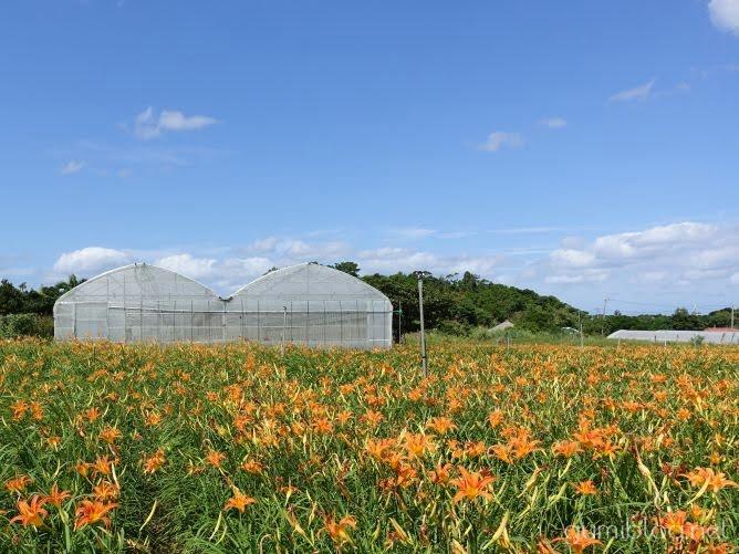 クワンソウ花畑散策と花摘み体験は9月~11月頃開催