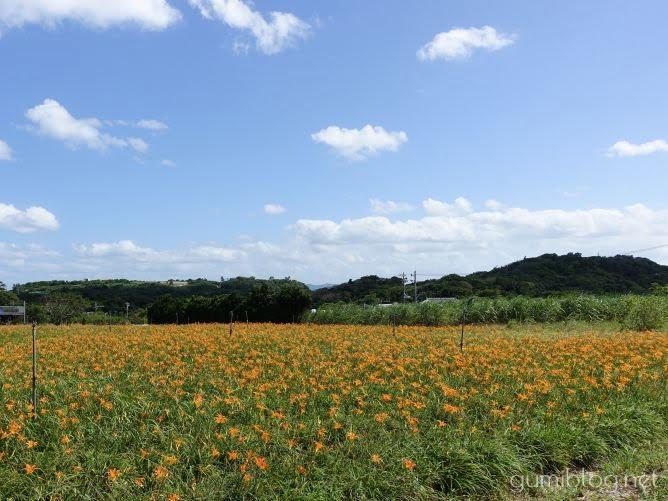 今帰仁ざまみファームのクワンソウ畑で花摘み体験した感想と注意事項など