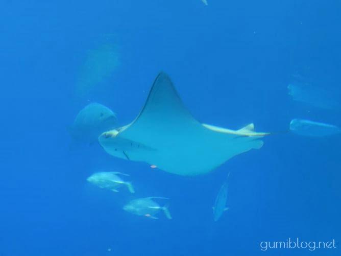 美ら海水族館のウシバナトビエイ