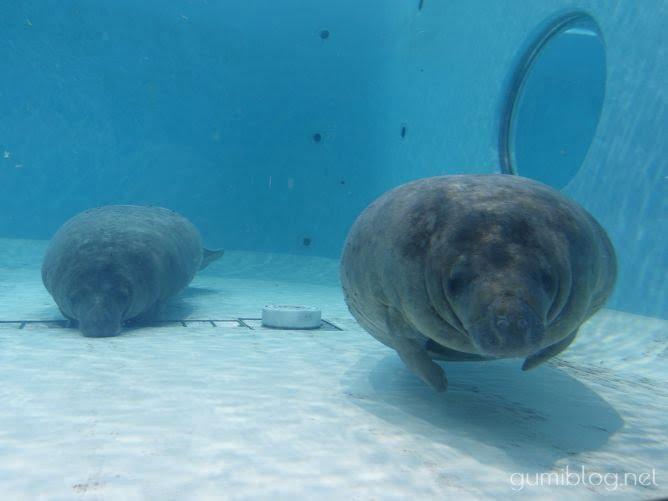 美ら海水族館の海牛目(アメリカンマナティー)の顔