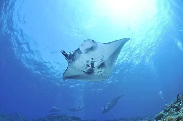 沖縄にしかいない魚は「マンタ・ハナアマダイ・オキナワキチヌ」など