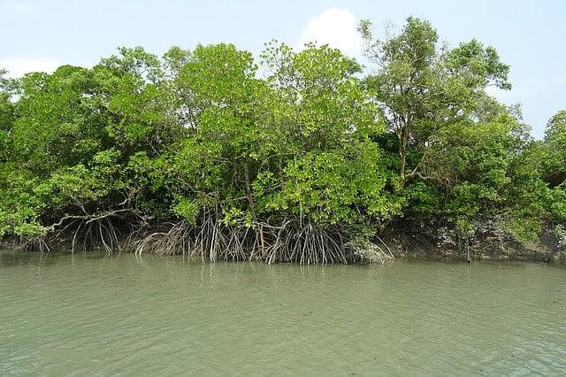 沖縄にしかない木は「ヤエヤマヒルギ(マングローブ)・ヤエヤマヤシ・リュウキュウマツ」など