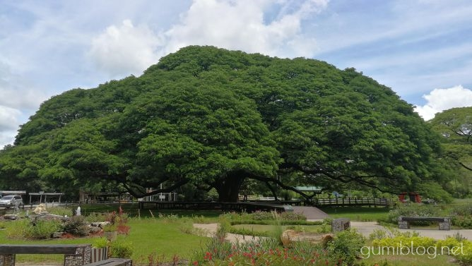 カンチャナブリ観光3.この木なんの木♪と同じ「巨大な合歓の木(ねむのき)」