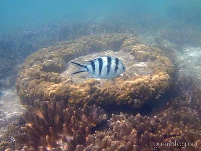 アンチ浜のサンゴ礁とロクセンスズメダイ