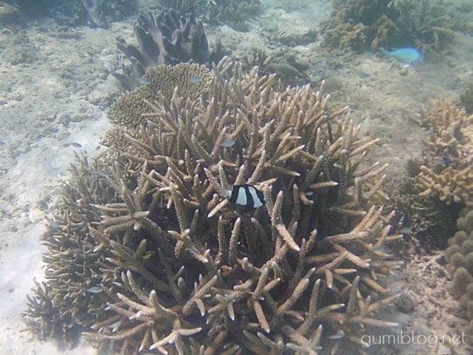 沖縄「アンチ浜」のミスジリュウキュウスズメダイとサンゴ礁