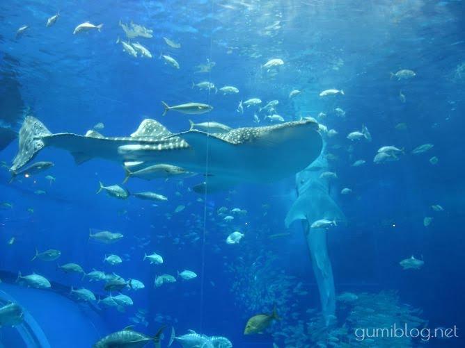 タイで食べる首折れ魚は日本の水族館でも見られる