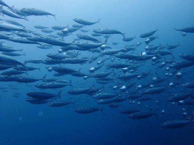 タイで食べる首折れ魚の和名(沖縄名)は「グルクマ」