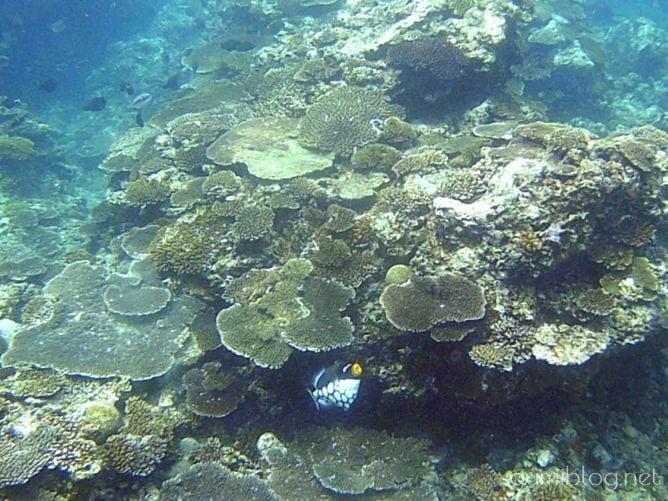 トケイ浜のモンガラカワハギ