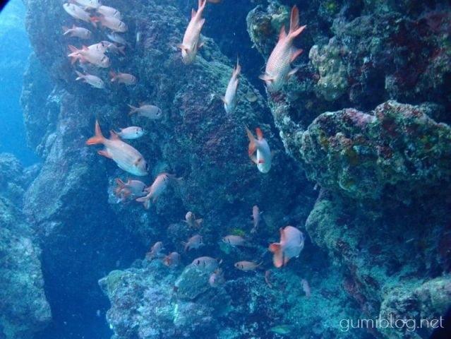 真栄田岬(青の洞窟)で見られる魚