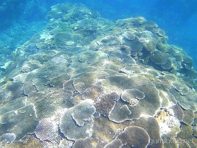 沖縄本島のテーブルサンゴ